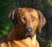Die Leeu Hond